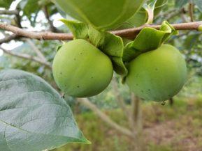 摘果前の富士柿