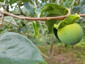 摘果後の富士柿