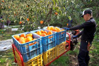 モノラックで運ばれる富士柿