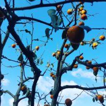 台風の被害を受けた富士柿の木